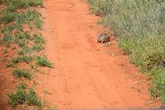 Safari, Turtle (robseye76) Tags: africa park holiday kenya turtle safari national vacations kenia tsavo wakacje afryka