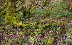 Duncliffe Wood (debs-eye) Tags: moss mossy duncliffewood