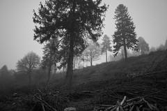 Silent (dobs1973) Tags: trees bw mist dawn haze woods gloom