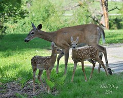 We are family..... (Brittamay) Tags: spring nikon babies mama deer fawn whitetail d7100