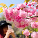 China Girl to Shoot The Cherry Blossoms (Kwanzan) : 八重桜(関山)の写真を撮る中国女性