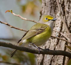 White-eyed Vireo. (tresed47) Tags: birds us content places delaware folder warbler takenby vireo 2016 bombayhook whiteeyedvireo peterscamera petersphotos canon7d 201604apr 20160425bombayhookbirds