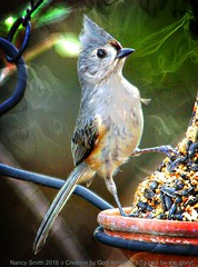 Tufted Titmouse-kie (NancySmith133) Tags: tuftedtitmouse backyardbirds centralfloridausa