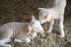 CANR In Photos (UDCANR) Tags: students sunshine milk sheep lamb cuteness agriculture wetland canr udfarm canrinphotos