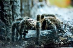 Not An Itsy-Bitsy Spider! (SKS Photos) Tags: animal museum zoo spider bayarea paloalto