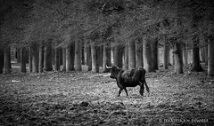 Bull (sebastiaan.dewolf) Tags: bw nature animal forest bull veluwe 6d