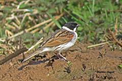 Reed Bunting (ramarg60) Tags: mud nest bunting reedbunting