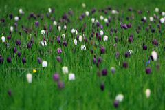 Flower carpet (tommyajohansson) Tags: flowers kewgardens flower london primavera fleur kew fleurs geotagged spring blumen blomma blume blommor printemps botanicgardens royalbotanicgardens frhling vr faved botanisktrdgrd tommyajohansson