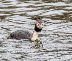 9Q6A0012 (2) (Alinbidford) Tags: lapwing cormorant buzzard greyheron littleegret redshank greatcrestedgrebe brandonmarsh alancurtis alinbidford weepingwillowbuds