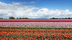 Tulips... (genevieve van doren) Tags: flowers sky colors field clouds fleurs landscape factory tulips couleurs smoke champs ciel nuages paysage usine flanders fume tulipes oostvlaanderen meerdonk sintgilliswaas