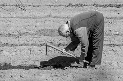 Plowing with the wisdom of old age (Sisqu Tena) Tags: old camp man nikon seu plow 70200 hort d800 urgell arar llaurar nikonflickraward