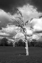 Stark (Graham Dash) Tags: trees blackandwhite monochrome nt surrey nationaltrust deadtrees hatchlandspark eastclandon