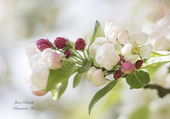 Malus evereste (Jane Dibnah Botanical Art) Tags: tree garden spring blossom macrophotography fruitblossom malus beautyinnature rhshydehall malusevereste