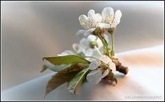 (Fay2603) Tags: flowers light white water cherry licht wasser blossom pflanze blumen indoor stamens frame grn blte bltter glas tender bltenbltter blten kirschblte zart kirschblten luftblasen fotorahmen staubgefse