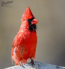 Cardinal 4_29 (krisinct- Thanks for 12 Million views!) Tags: canon mark ii 7d 500 f5