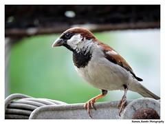 Sparrow (Raman_Rambo) Tags: india bird nature beautiful beauty birds animal animals closeup photography natural superb indian sparrow common raman ramansharma ramansharmadombivli