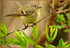 """* Ruby-crowned Kinglet * (Darrell Colby """" You Call The Shots """") Tags: ontario canada hyper londonontario feisty rubycrownedkinglet kinglet"""