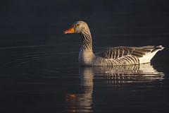 greylag goose (t.schwarze) Tags: bird water animal sunrise wasser goose gans sonnenaufgang greygoose graugans pentaxart