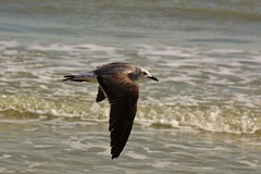 Laughing Through a Second Winter (Jan Nagalski) Tags: winter gulfofmexico nature water inflight florida wildlife gull feathers sanibelisland plumage southwestflorida laughinggull winterplumage flyingbird canon60d secondwinter jannagal jannagalski