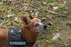 A Walk with dogs 24-4-2016 (Rick & Bart) Tags: dogs nature canon belgium walk limburg zoutleeuw haspengouw honden royco geetbets rickbart thebestofday gnneniyisi rickvink eos70d wandelingzoutleeuw