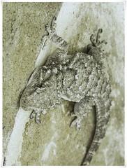 SALAMANQUESA COMUN (BLAMANTI) Tags: reptiles salamanquesas