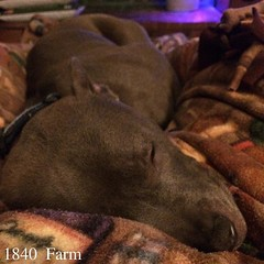 "Penny Lane was asleep on my lap last night and has settled in again tonight. Christmas clearly has her worn out. Playing with new toys and taking a long walk were exhausting!  I hope that you had a great Christmas just like Penny did!  #1840farm #dog#farm • <a style=""font-size:0.8em;"" href=""http://www.flickr.com/photos/54958436@N05/23345853964/"" target=""_blank"">View on Flickr</a>"