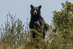 Female Black Bear. Waterton Canyon, Colorado.