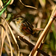 Swamp Sparrow (autrevie) Tags: chamberscountytexas swampsparrowmelospizageorgiana jjmayeswildlifetrace christmasbirdcountcbc