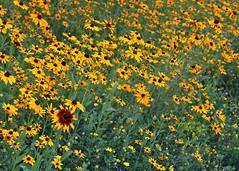 Woodland Sunflowers variation (1 of 3) in Summer at Duke Farms of Hillsborough NJ (takegoro) Tags: summer plant flower nature yellow woodland weeds meadow sunflowers wildflower sanctuary naturepreserve dukefarms nj hillsborough