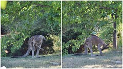 A scratch of the back .. and .. a scratch of the forehead (AndyBrii) Tags: canberra redkangaroo conder