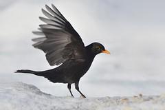 Bird (sylvette.T) Tags: bird nature neige merle oiseau 2016 sigma120300 nikond5100