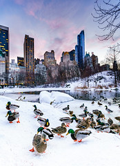 Quack in the snow (^Baobab^) Tags: nyc newyorkcity sunset snow newyork canon centralpark ducks newyorkstate autofocus nycnight thepond newyorksunset ef1635mmf28lii a7rii ilce7rm2 sonya7riiwithefmountlens blizzard2016 blizzardjonas