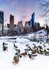 Quack in the snow (^Baobab^) Tags: ducks newyorkcity centralpark thepond snow blizzard2016 blizzardjonas newyork nyc nycnight sunset newyorksunset newyorkstate sonya7riiwithefmountlens a7rii ilce7rm2 canon ef1635mmf28lii autofocus