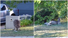 A glimpse at  the headlines .. and ..  a rest in the shade (AndyBrii) Tags: canberra redkangaroo conder