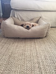 Liesel and Nolan's Pippa loves her new bed!!!