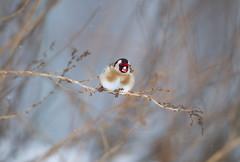 cardellino (baudinellistefania) Tags: neve ramo freddo piume stecco cardellino