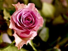 Eine Rose fr dich! (ingrid eulenfan) Tags: rose bokeh natur pflanze blume