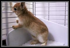 Ichigo san (mensore) Tags: brown rabbit bunny san ichigo netherlanddwarf