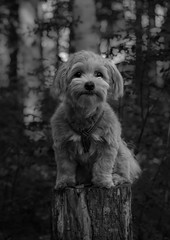 Kippie Portrait (Naetrogen) Tags: travel summer portrait blackandwhite bw dog pets tree love nature girl beautiful animal forest puppy photography model eyes nikon europe pretty peace sweden peaceful squareformat outdoorportrait