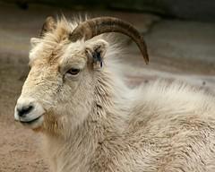 Dall Sheep (Emily K P) Tags: portrait white face animal zoo sheep wildlife dall milwaukeecountyzoo