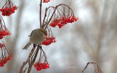 Pine Grosbeak (female) (~ Paula B) Tags: nature birds newfoundland berries pinegrosbeak dogberries mountainashberries birdsofnewfoundland