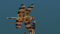 Halloween pennant (aokcreation - slowly returning) Tags: dragonfly halloweenpennant