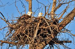 Nest maintenance (ritchey.jj) Tags: eagles