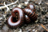 Millipedes mating? (TJ Gehling) Tags: sex elcerrito millipede arthropoda myriapoda diplopoda canyontrailpark spirobolida spirobolidae tylobolus