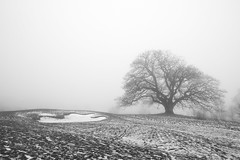 big naked oak tree in the mist