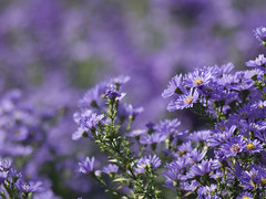 Le sacre de la multitude * (Titole) Tags: field purple aster shallowdof friendlychallenges titole nicolefaton
