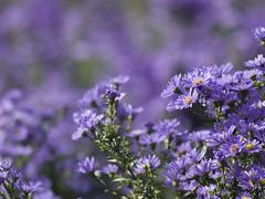 Le sacre de la multitude * (Titole) Tags: field purple aster shallowdof friendlychallenges titole nicolefaton