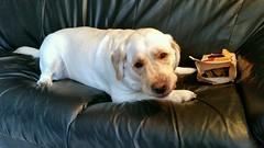 Gracie with a bag of treats (walneylad) Tags: winter dog pet cute puppy gracie lab labrador january canine labradorretriever