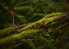 02-06-2016-Twisted! (Valerie Sauve-Vancouver) Tags: park trees green nature outdoors moss branch walk twisted catesparknorthvancouverbc