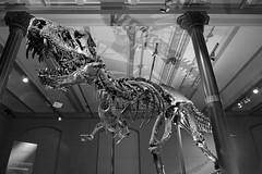 Tristan (sterreich_ungern) Tags: light museum tristan t bones huge rex tyrannosaurus knochen